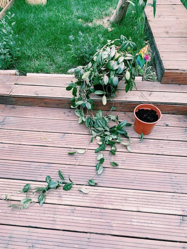 Hoya Carnalis